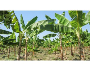Colombia confirms that dreaded fungus has hit its banana plantations - AAAS