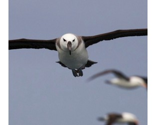 Saving albatrosses from extinction