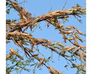 Swarms of Locusts reach outskirts of Sukkur, southern Pakistan - Xinhuanet