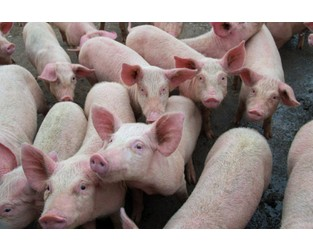 African Swine Fever Spreads in Philippines