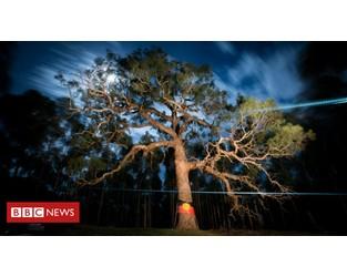 Djab Wurrung tree: Anger over sacred Aboriginal tree bulldozed for highway - BBC