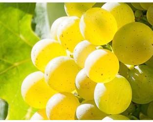 Grape discovery