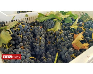 'You have to protect the grapes from getting sunburn' - BBC News