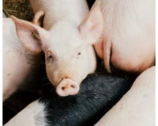 African Swine Flu on the horizon