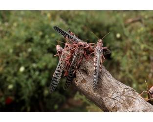 Swarms of locusts devastate parts of northern Kenya - Reuters