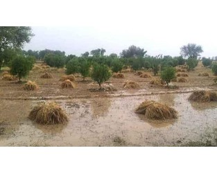 Stormy weather damages 150,000 tons of wheat crop in Punjab - The News