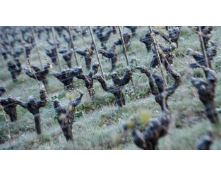 French winegrowers hit by rare frost brace for bleak harvest - France 24