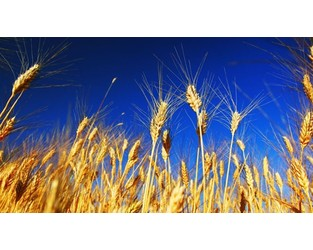 Climate change may impact future global wheat production
