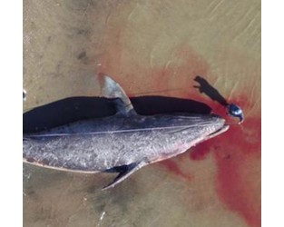 Why are grey whales starving?