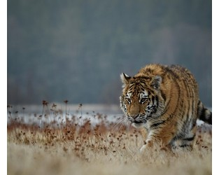 Podcast: the tiger kidnap risk
