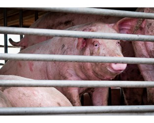 Concern Over Pig Virus Prompts Philippines to Ban German Pork